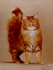 Colours of Maine Coon